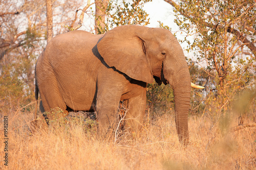 Fototapeta African Elephant on Safari in a South African game reserve