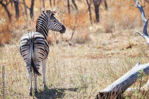 Papiers peints Hyène African Zebra on safari in a South African game reserve