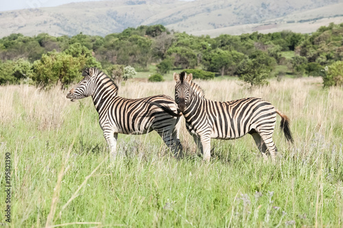 African Zebra on safari in a South African game reserve