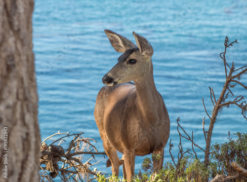 Fotobehang Hert California Deer Coastal