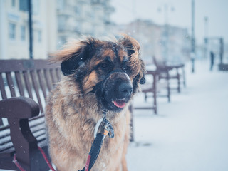 Leonberger dog in the snow