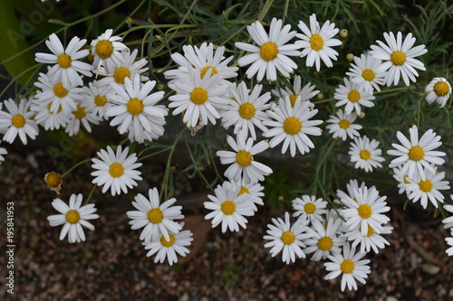 White Daisies Daisy Background
