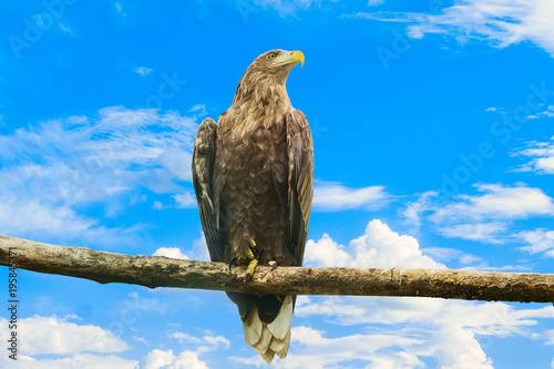 Fotobehang Eagle White-tailed eagle sitting on a wooden branch on a blue cloudy sky background