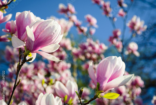 Fridge magnet gorgeous magnolia flowers on a blue sky background. lovely springtime scenery in the park
