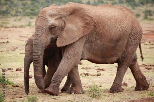 Fototapeta Elephant Family - Addo Elephant Park - South Africa