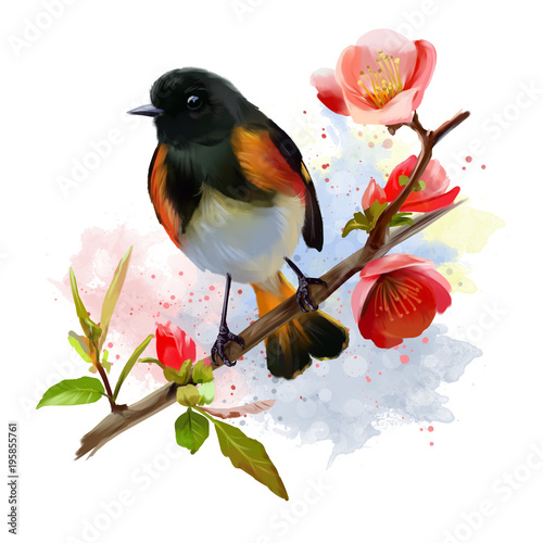 American Redstart bird watercolor painting