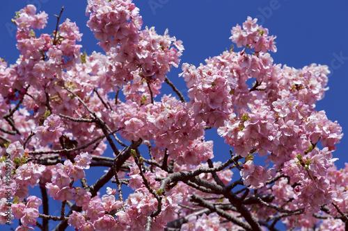 Fotobehang Crimson Beautiful cherry blossoms in Japan