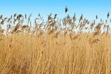Reed growing near the lake - 195865951