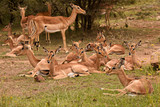 Young Impala resting in the form of a creche for protection  - 195866787