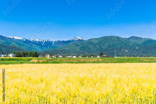 春の信州 常念岳と安曇野の麦畑
