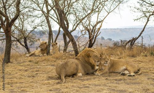 Fotobehang Lion Family of Lions