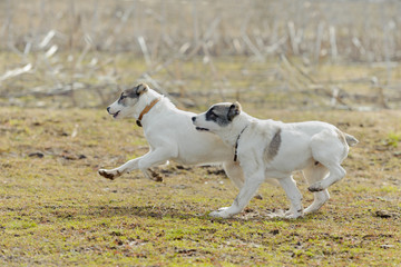 Puppies play and run against the background of grass