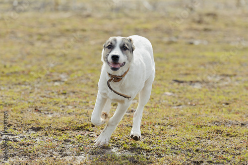 White puppy run against background of grass