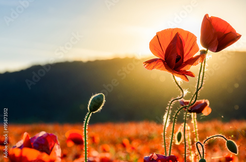 Fotobehang Klaprozen poppy flowers close up in the field. beautiful summer background