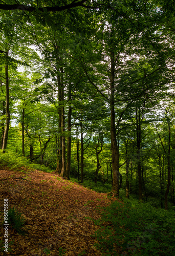 Tuinposter Natuur meadow in ancient beech forest. lovely nature scenery in Carpathian woods