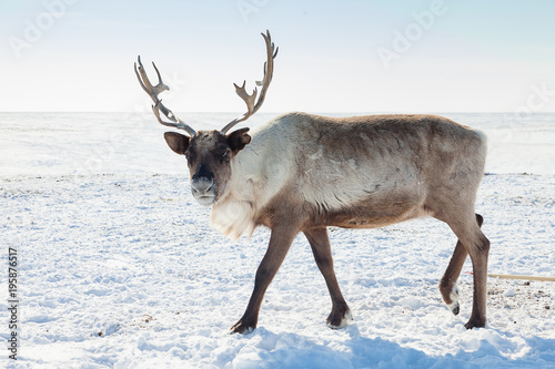 Deurstickers Wit Reindeer in winter tundra