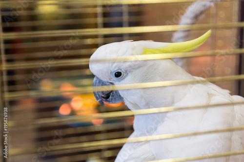 Fototapeta Big yellow-haired cockatoo in a cage. Cacatua galerita. Plyctolophus galeritus