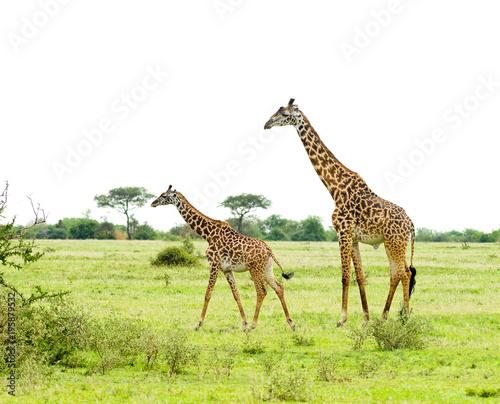 Fototapeta herd of Masai Giraffe (Giraffa camelopardalis tippelskirchi or