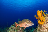 A mutton snapper can be seen swimming throughout its natural habitat on the tropical caribbean reef. This fish is suited to the warm water and can be seen clearly due to the clenliness of the water - 195884535