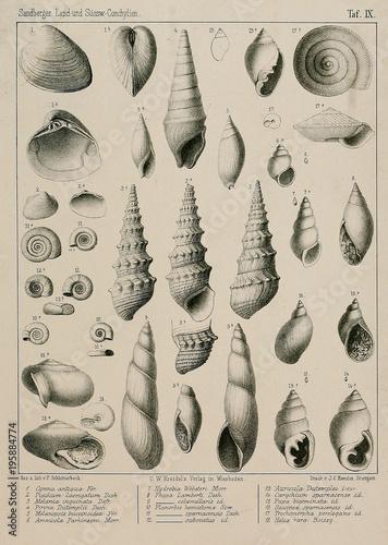 Fossil shells. - 195884774