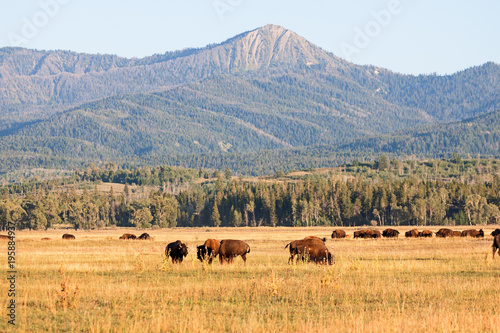 Plexiglas Bison Herd of Bison grazing in the plains in the Grand Teton National Park, WY, USA