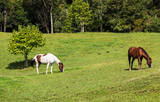 Dois cavalos pastando. - 195895149