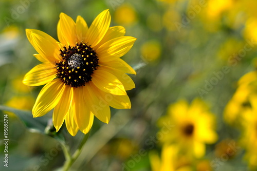 sunflower with soft sunflowers for background, Helianthus annus