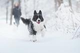 Border collie dog running in snow - 195896984