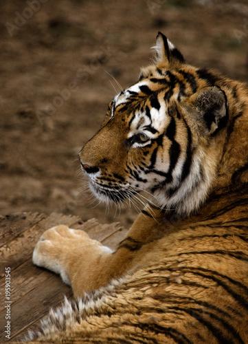 Aluminium Tijger Tiger laying in Dalian Forest Zoo