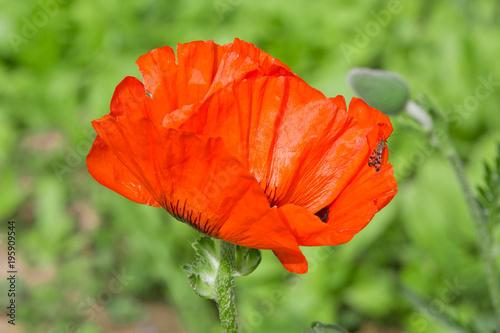 Staande foto Klaprozen Poppy flowers in a blossoming summer garden