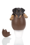 Chocolate egg with a cute puppy inside on a white background