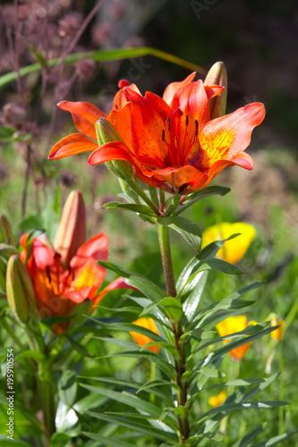 Aluminium Tijger Orange lilies in a flowery garden