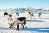 Reindeer in Northern Norway - 195914991