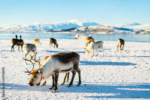Deurstickers Wit Reindeer in Northern Norway