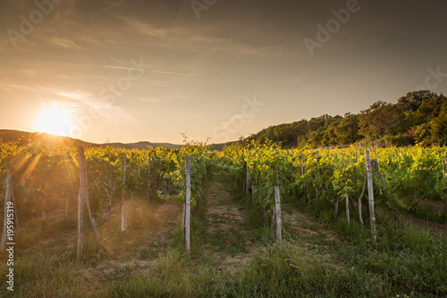 Foto op Canvas Wijngaard Landscape of vineyard, nature background