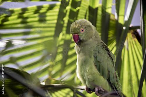 Fototapeta green parrot