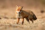 Fox (Vulpes vulpes) - 195930342