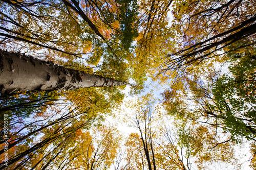 Fotobehang Berkenbos birch forest in fall