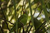 Two green parrots in a coconut tree. São Gabriel da Cachoeira, Amazon / Brazil