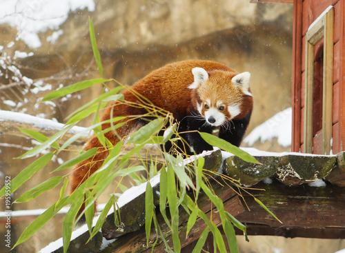 Aluminium Panda Малая панда (красная панда).