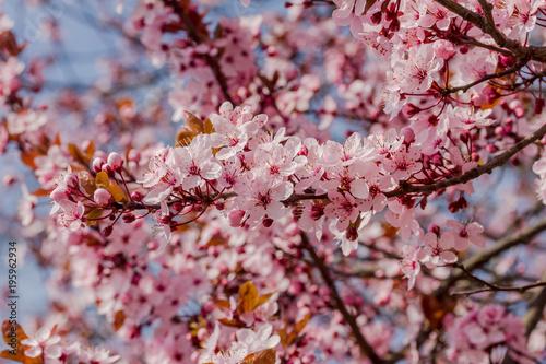Wiele pięknych kwiatów japońskiej wiśni w ładną słoneczną pogodę