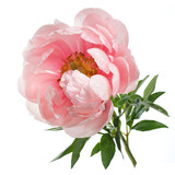 Peony pink color isolated on white background. - 195967963