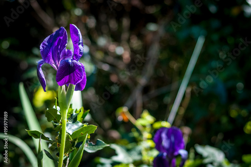 Fotobehang Iris Closeup of purple iris flower