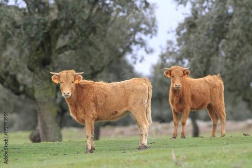 Fotobehang Paarden Crias de toro bravo en el campo