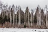 Winterbild mit Birken und Tannen