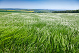 English rural landscape with barley field - 195987300