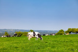 English rural landscape in with grazing Holstein Friesian cattle - 195987327
