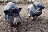 two mini pig in mud - 195990554