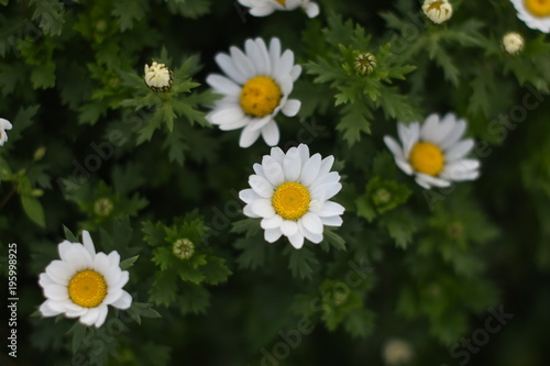 Daisies and spring