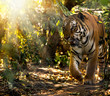 Wild Siberian tiger on nature